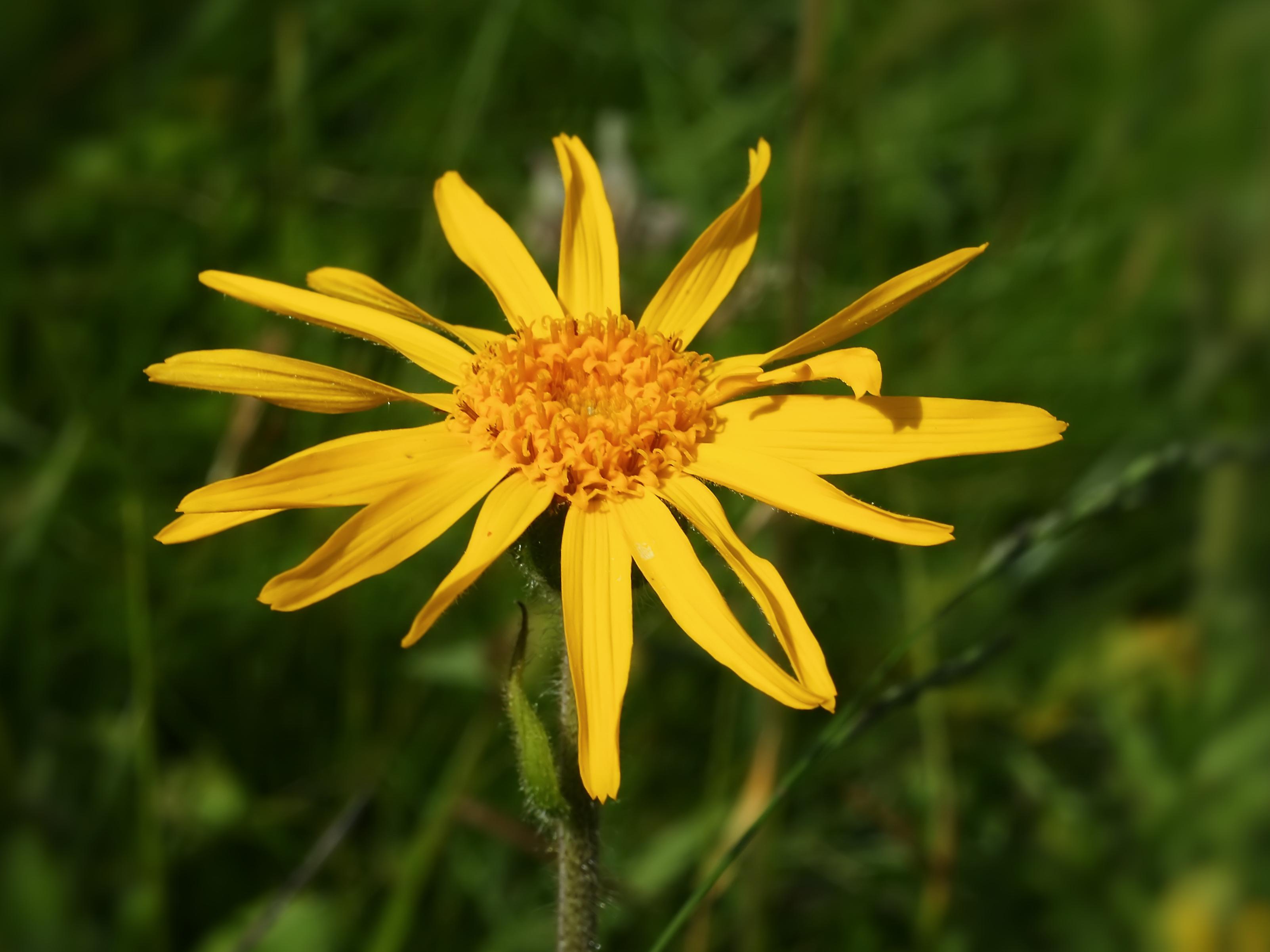 Arnica Montana (flower head)